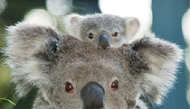 Billabong Koala and Wildlife Park - Whitsundays Tourism