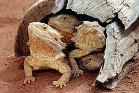 Alice Springs Reptile Centre - Whitsundays Tourism