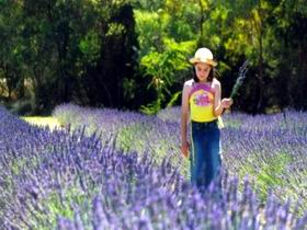 Brayfield Park Lavender Farm - Whitsundays Tourism