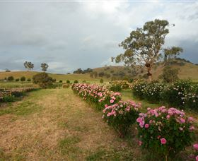 Damasque Rose Oil Farm - Whitsundays Tourism