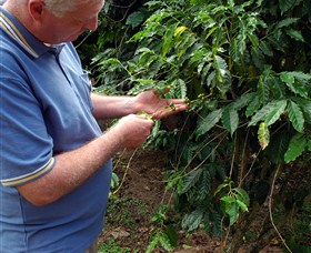 Wombah Coffee Plantation - Whitsundays Tourism