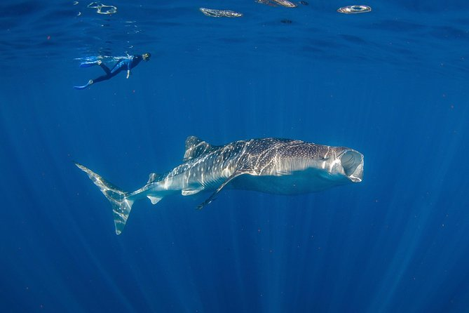 Private Whale Shark or Humpback Whale Swimming Tour