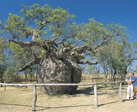 Boab Prison Tree - Whitsundays Tourism
