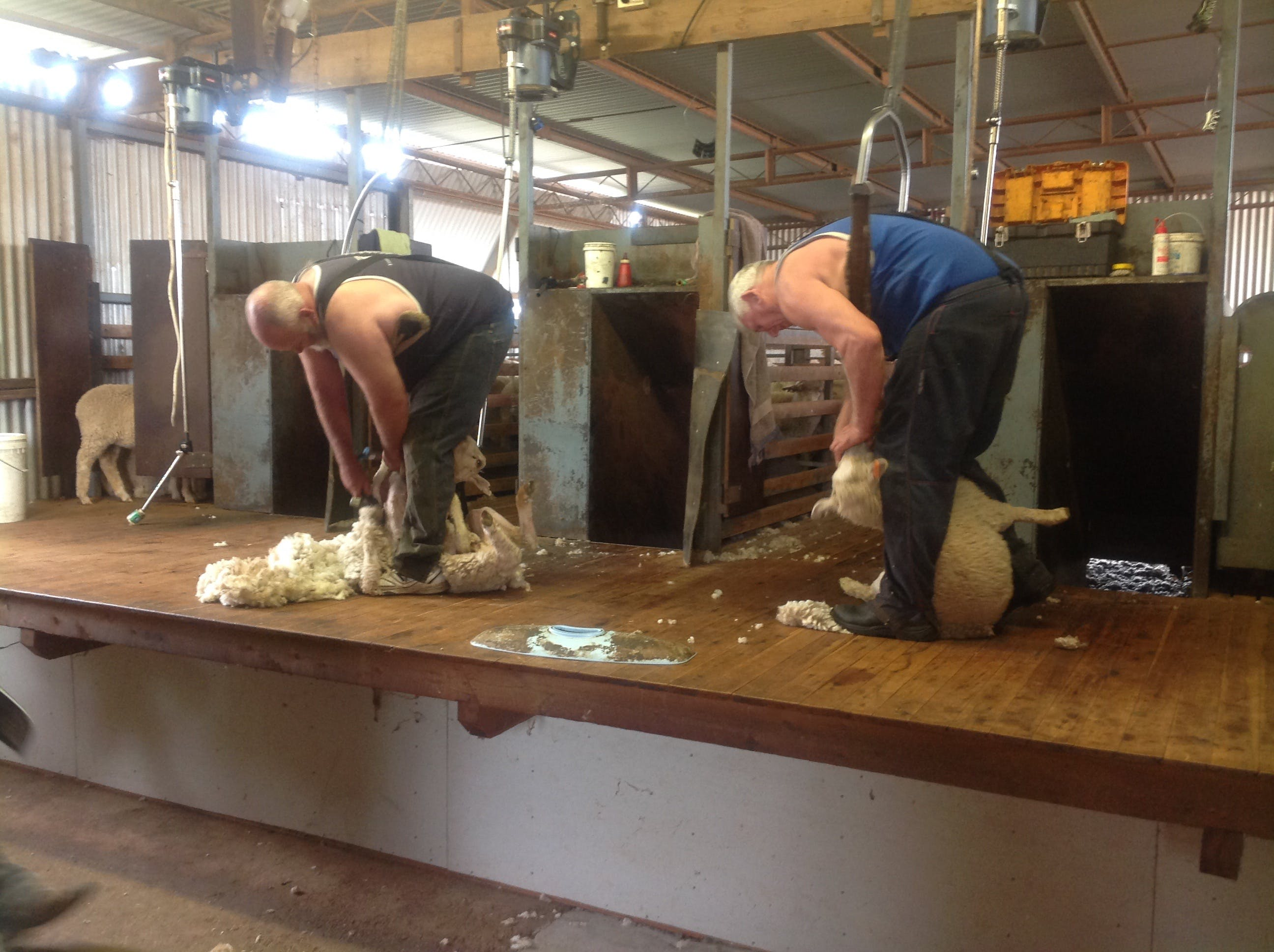 Sheep Shearing Farm Tour - Whitsundays Tourism